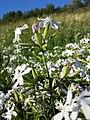 Saponaria officinalis sl9.jpg