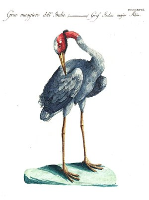 Saverio Manetti -  Sarus crane from Ornithologia methodice digesta volume 4 (1777)