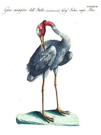 Saverio Manetti -  Sarus crane from Ornithologia methodice digesta volume 4 (1777)