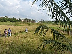 Sawah rice cultivation in inland valleys in Ashanti region, Ghana