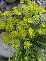 Saxifraga aizoides L. (7477269158).jpg
