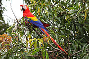 A red parrot with a light-pink face, a white beak, a black jaw, yellow shoulders, and blue wings