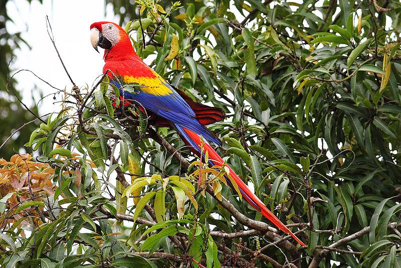 File:Scarlet-Macaw-cr.jpg
