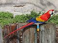 Scarlet Macaw RWD3.jpg