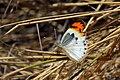 Scarlet tip butterfly (Colotis danae annae) female.jpg
