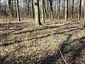 Scilla drunensis sl50.jpg
