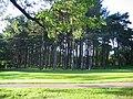 Scots Pine - geograph.org.uk - 488237.jpg