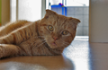 Scottish-Fold-Kater.png