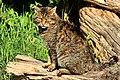Scottish Wildcat (17245513781).jpg