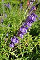 Scutellaria baicalensis kz1.jpg
