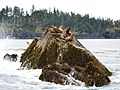 Sea lion colony, Gwaii Haanas.jpg