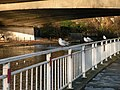 Seagulls on railings beside the Cam - geograph.org.uk - 1633209.jpg