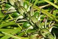 Seeds of Acanthus mollis.jpg