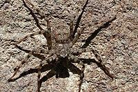 Selenops sp. (Marshal Hedin).jpg