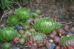 Sempervivum.jpg