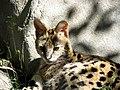 Serval-14.jpg