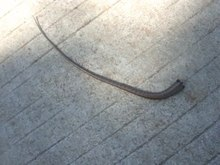 File:Severed skink tail.webm