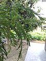 Shammi tree.jpg