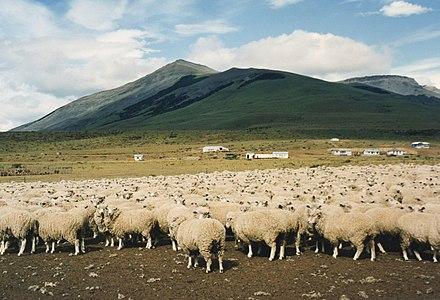 A large sheep farm in Chile. Sheep, Torres del Paine.jpg