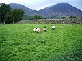 Sheep - geograph.org.uk - 554814.jpg