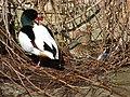 Shelduck shacked up with a Mallard on its nest (6890261342).jpg