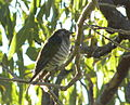 Shining Bronze Cuckoo (Chrysococcyx lucidus) 02.JPG