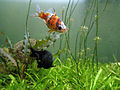 Shubunkin goldfish and black fish at meenalokam.JPG