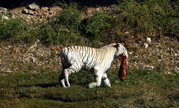 Siberian Tiger, Yerevan Zoo (3).jpg
