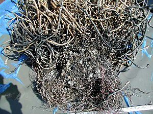 "Cold seep - ""Roots"" of tubeworms also provide a supply of hydrogen sulfide from the sediment to the bacteria inside these tubeworms."