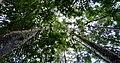 Siharaja Forest Canopy Sri Lanka.jpg