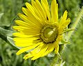 Silphium laciniatum COMPASS PLANT (5145816097).jpg
