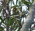 Silvereye. Zosterops lateralis - Flickr - gailhampshire.jpg