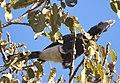 Silvery-cheeked Hornbill (2206510209).jpg