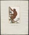 Simia satyrus - 1798-1803 - Print - Iconographia Zoologica - Special Collections University of Amsterdam - UBA01 IZ19800048.tif