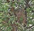 Sind Sparrow (Passer pyrrhonotus)'s nest at Sultanpur I Picture 171.jpg