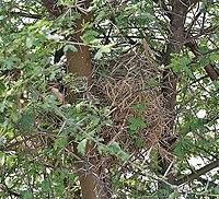 Sind Sparrow (Passer pyrrhonotus)'s nest at Sultanpur I Picture 171