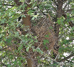 Sind sparrow - Nest at Sultanpur National Park in India