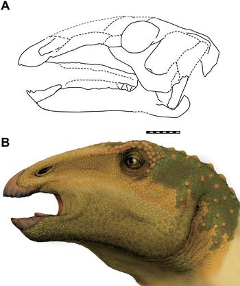 Sirindhorna skull and head.PNG