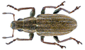 Sitona lineatus (Linné, 1758) (10730525876).png