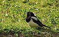 Skata Common Magpie (20164754759).jpg