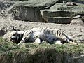 Sleeping hyena.JPG