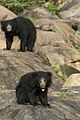 Sloth Bear Jpg (168102695).jpeg