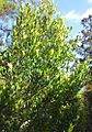 Small Cafe Marron tree - Coffea myrtifolia - Monvert Arboretum.jpg