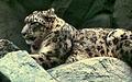 Snow leopard NPS01241.jpg