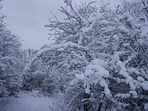 English: Snowy woodland north of Wolstonbury H...