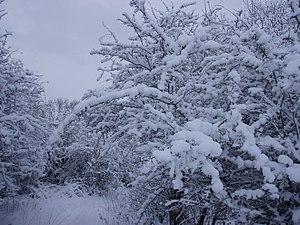English: Snowy woodland north of Wolstonbury H...