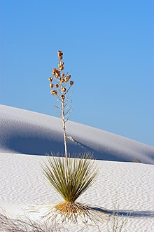 Soaptree yucca, White Sands.jpg