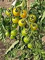 Solanales - Solanum lycopersicum - 48.jpg