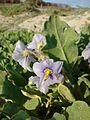 Solanum coquimbense J. R. Benn. (2).jpg