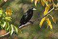 Solitary Cacique - Pantanal - Brazil H8O0547 (23889343835).jpg